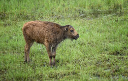 Wood Buffalo Calf. A wood buffalo calf in northern British Columbia, Canada, near the Liard River Hot Springs Provincial Park Stock Photography