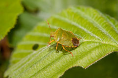 Wood bug on green sheet Stock Photography