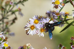 Wood Bumblebee in flowers Royalty Free Stock Photo
