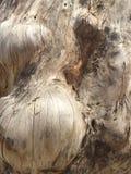 Wood burl royaltyfri fotografi