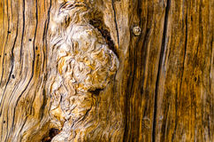 Wood Burl Background. Knotted tree trunk with large burl Stock Photography
