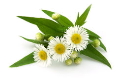 Wood camomile. With leaves on a white background Stock Images