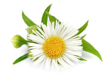 Wood chamomile with leaves. On a white background Stock Image
