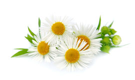 Wood chamomile with leaves Stock Photos