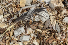 Wood chips showcase a birds feather Stock Images