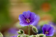 Wood cranesbill Stock Photos