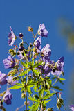 Wood Cranesbill Stock Photography