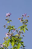 Wood Cranesbill Stock Images