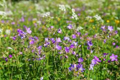 Wood cranesbill flowers in the meadow Royalty Free Stock Image
