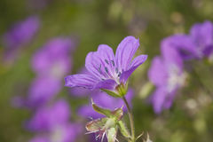 Wood cranesbill (Geranium sylvaticum) Stock Photo