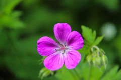 Wood Cranesbill 'Mayflower' - Geranium sylvaticum Stock Image