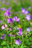 Wood cranesbill on a meadow Stock Photography