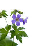 Wood Cranesbill or Woodland Geranium Stock Image