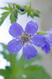 Wood Cranesbill or Woodland Geranium Royalty Free Stock Photos