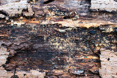 Wood cross section backgrounds bark and wood texture Royalty Free Stock Image