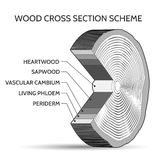 Wood cross section scheme Royalty Free Stock Image