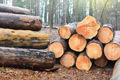 Wood cut logs in a row. Forest clearance. Wood cut logs in a forest. Woodcutting industry timber woodcutter lumberjack lumberman woodland tree stack woods royalty free stock photo