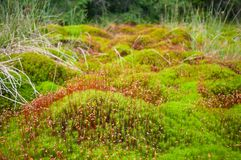 Wood deep moss in the forest. Green moss in the Carpathians. Stock Photo