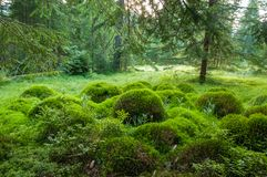 Wood deep moss in the forest. Green moss in the Carpathians. Royalty Free Stock Images