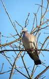 Wood dove Stock Photography