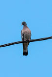 Wood Dove Stock Image