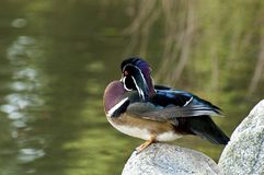 Wood Duck Stock Image