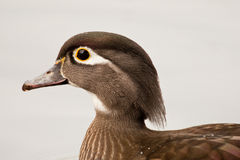 Wood Duck Stock Photo