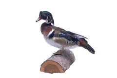 Wood Duck. A mounted male Wood Duck Royalty Free Stock Images