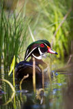 Wood Duck. Swimming away in a swamp up close Royalty Free Stock Photos