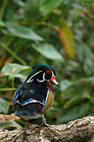Wood Duck. A male wood duck shows off it's bright colors during breeding season Royalty Free Stock Photos