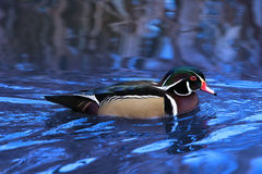 Wood Duck. Swimming on pond with sky and reeds reflecting in the rippling water Royalty Free Stock Photo