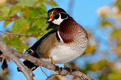Wood Duck. Male Wood Duck Standing on Branch in Sycamore Tree Stock Photography