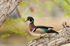 Free Wood Duck Stock Images - 23890814