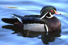 wood duck Royalty Free Stock Image