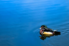 Free Wood Duck Stock Images - 9832804