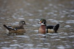 Wood Duck (Aix sponsa) Stock Images