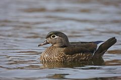 Wood Duck (Aix sponsa). Female in perfect breeding plumage swimming on the Harlem Meer in New York's Central Park Stock Photo