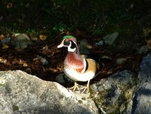 The wood duck Aix sponsa The Carolina duck or Die Brautente, Abenteurland Walter Zoo stock photos