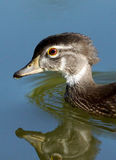 Wood Duck - Aix sponsa Stock Images
