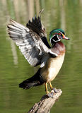 Wood Duck - Aix sponsa Stock Images