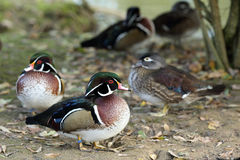 Wood duck, aix sponsa. Details of a group of wood ducks in captivity Royalty Free Stock Photo