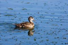 Wood Duck (Aix sponsa) duckling. Stock Images
