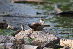 Wood Duck (Aix sponsa) duckling sitting on a Rock. Royalty Free Stock Images