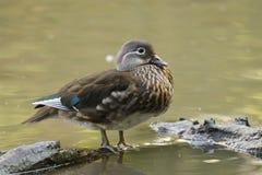 Wood Duck (Aix sponsa) female Stock Image