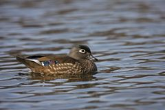 Wood Duck (Aix sponsa) female Stock Photo