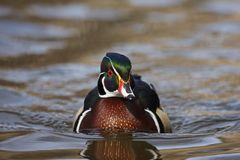 Wood Duck (Aix Sponsa) Male Royalty Free Stock Image