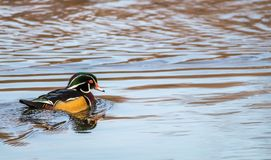 Wood Duck Aix sponsa male in beautiful reflective lake water on an afternoon in late fall. The wood duck is one of the most colorful ducks found in North America Stock Photography