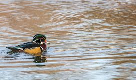 Wood Duck Aix sponsa male in beautiful reflective lake water on an afternoon in late fall. The wood duck is one of the most colorful ducks found in North America Stock Photo