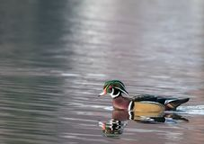 Wood Duck Aix sponsa male in beautiful reflective lake water on an afternoon in late fall Stock Image