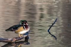 Wood Duck Aix sponsa male perched on log on an afternoon in late fall. The wood duck is one of the most colorful ducks found in North America.  Is is swimming in Stock Photos